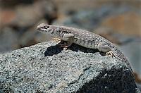 438500003 a wild desert iguana dipsosaurus dorsalis perches on a rock in darwin canyon inyo county california