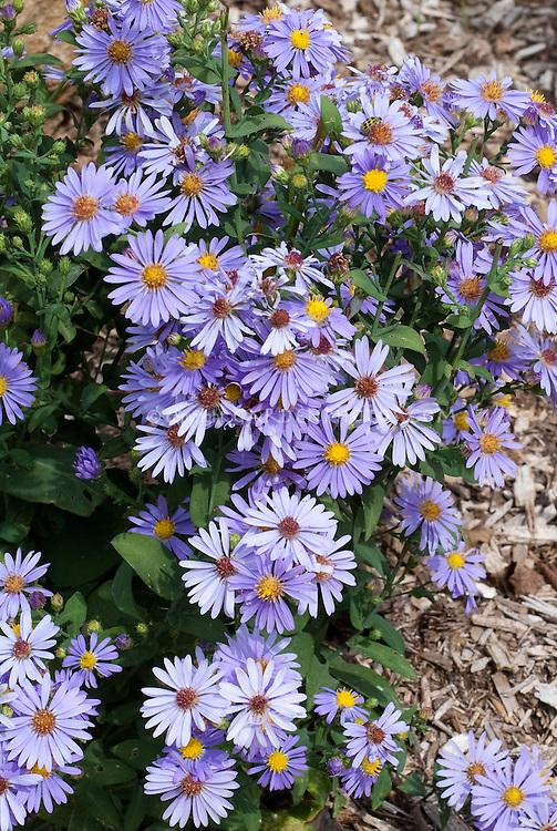 Aster laevis 'Bluebird' autumn flowering blue flowered perennial aka Symphyotrichum laeve 'Bluebird'