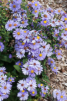 Aster laevis 'Bluebird' autumn flowering blue flowered perennial