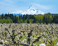 Pear blossoms are in full bloom overlooking an orchard in Hood River, OR with snowy Mt Hood in the background and a line of trees in the middle on a partly cloudy day in Spring.