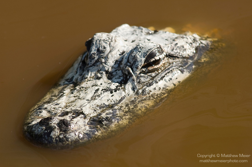 Ding Darling National Wildlife Refuge, Sanibel Island, Florida; an American Alligator (Alligator mississippiensis) partially submerged in the brown, brackish water of the mangroves © Matthew Meier Photography, matthewmeierphoto.com All Rights Reserved