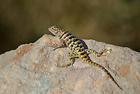 442800014 a wild yellow-backed spiny lizard sceloparus uniformis perches on a rock along chalk bluffs road near bishop inyo county california