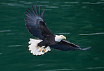 A soaring Bald Eagle, Alaska