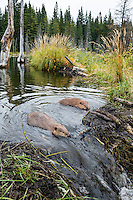 Two North American Beaver (Castor canadensis) working on dam they have built on a small stream.  Northern Rockies,  Fall.