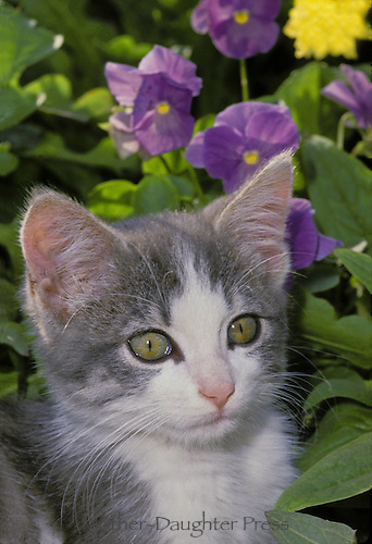 Gray and white kitten with blooming purple petunia flowers close up, Missouri, USA