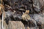 Jumping Spider, Mahale National Park, Tanzania