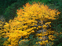 769550445 a big leaf maple acer macrophyllum decked out in brilliant yellow on an autumn day in a forest along the central oregon coast