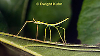 OR07-541z  Walking Stick Insect,  juvenile camouflaged on tree, Acrophylla wuelfingi