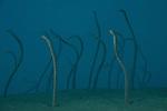 Dusky garden eels (Heteroconger enigmaticus) coming out of the sand.