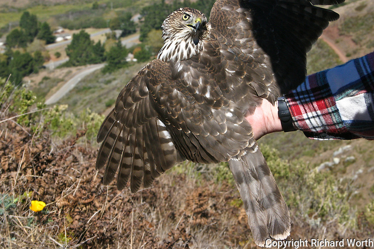 A Cooper's Hawk held to display its back, wings and tail - it was the bird's choice to twist its head around and display its beak and eyes.