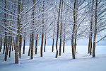 Idaho, North, Rathdrum. A grove of trees covered with a dusting of snow in a winter landscape.