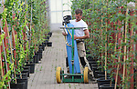 Foto: VidiPhoto<br /> <br /> OPHEUSDEN - De broers Gijsbert en Geurt van Setten zijn donderdag op geheimzinnige wijze aan het werk in hun zogenoemde Roll-Air-kas met gasfles en ledlampen. Het is de boomkwekers gelukt om op grote schaal bomen te telen op eigen wortel, een unicum in Europa. Oftewel, van stekjes worden bomen opgekweekt. In de laanboomteelt is dat ongebruikelijk. Kwekers gebruiken nu nog onderstammen van andere bomen om mee te enten. Voordeel is snell groei. Nadeel is gevoeligheid voor ziekten en vergroeiingen bij de entplek. Stekken was tot nog toe enorm bewerkelijk en op professionele basis praktisch niet uitvoerbaar. De Opheusdense broers is dat nu wel gelukt. Inmiddels hebben ze 20.000 kaarsrechte bomen (110 soorten) opgekweekt. Wat hun geheim is vertellen ze niet. Ze presenteren hun vinding komende week op Expo TCO in Opheusden, een vakbeurs voor bomen en techniek. Inmiddels is er internationaal veel belangstelling voor de Nederlandse vinding omdat bomen zo uiteindelijk minder verzorzing nodig hebben en minder gevoelig zijn voor ziekten.