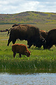 A bison calf at a wetland pond and bison sparing on the Great Plains of Montana at American Prairie Reserve. South of Malta in Phillips County, Montana.
