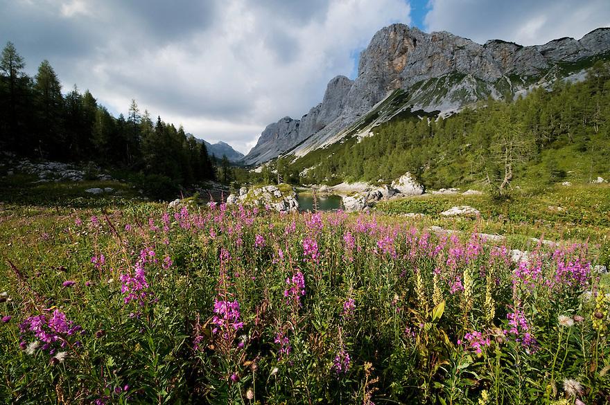 Fireweed (Epilobium angustifolium) at Dvojno jezero (Double lake) with Mount Ticarica<br /> Triglav National Park, Slovenia<br /> August 2009