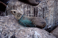 A California Sea Lion caught in discarded fishing line in Monterey Bay, California.