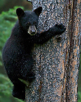 Black Bear Cub, Grand Teton National Park, climbing tree