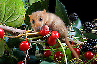 Common Dormouse (Muscardinus avellanarius), Normandy, France
