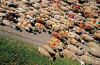 Flock of sheep arriving in Esperou village during a summer transhumance, Gard, Provence, France.