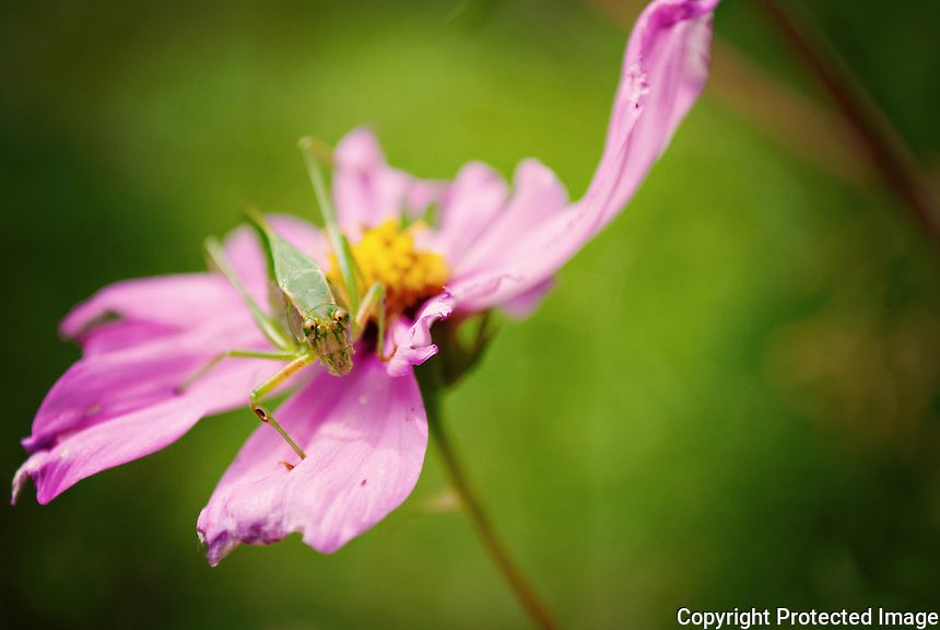 Grasshopper on a cosmo flower.