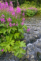Fireweed and spring stream, Alaska range mountains, interior, Alaska.