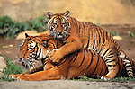 Indochinese tiger and cub