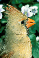 Close up of female cardinal