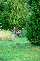 Wild turkey, meleagris gallopavo,  defends  the birdfeeder from a raccon