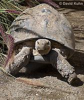 0417-1003  Leopard Tortoise, Geochelone pardalis  © David Kuhn/Dwight Kuhn Photography.