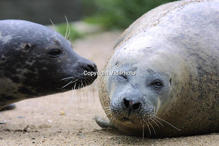 Foto: VidiPhoto..RHENEN - De oudste zeehond ter wereld in gevangenschap, zeehond Els in Ouwehands Dierenpark Rhenen, is maandag overleden. Dat heeft het park dinsdag bekend gemaakt. Zeehond Else verbleef sinds 2001 in Het Wad van Ouwehands. De laatste weken ging de gezondheid van Else achteruit, ze werd magerder en minder actief. Else is 53 jaar geworden. Else verbleef sinds 1974 samen met zeehond Dolf in een buitenbassin in het Amstelpark. Nadat haar maatje overleed, kwijnde Elsa weg, waarna werd besloten het dier naar Rhenen te brengen.