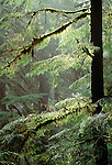 Old growth rainforest, Olympic National Park, Washington