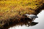 Heron Wading, Bolsa Chica, CA.