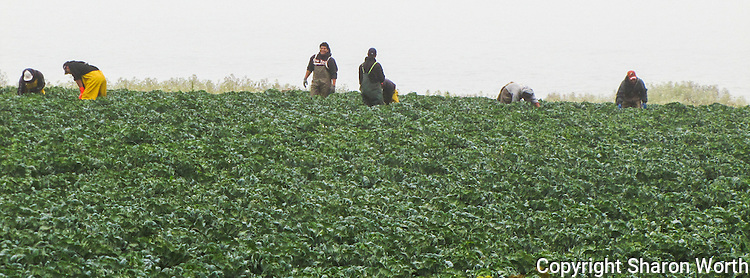 Farm workers in a field along the California coast south of Half Moon Bay.