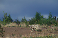 694922061 a wild gray wolf canis lupus stands in an open area along the edge of a taiga forest in the northwest territories in canadan