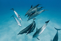 RW5104-D. Atlantic Spotted Dolphins (Stenella frontalis), resident pods of wild dolphins in the Bahamas off Bimini and Grand Bahama Island offer eco-tourists from around the world a superb encounter swimming with the playful marine mammals. Bahamas, Atlantic Ocean.<br /> Photo Copyright &copy; Brandon Cole. All rights reserved worldwide.  www.brandoncole.com