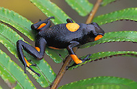 Harlequin Poison Frog (Dendrobates histrionicus), adult, Risaralda, Colombia