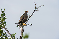 An adult Cuban Black Hawk (Buteogallus gundlachii), perched, in Las Salinas Wildlife Refuge, Zapata Peninsula, Cuba.