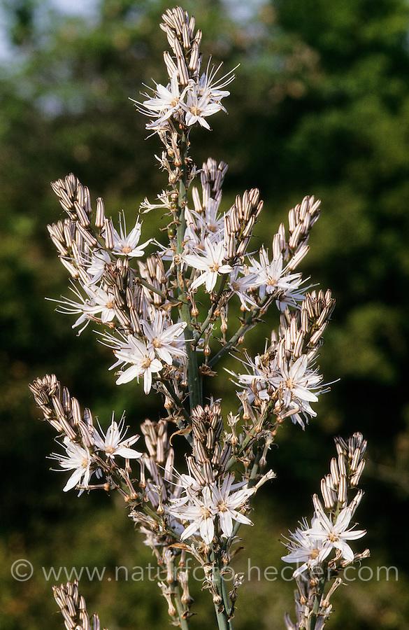 Weisser Affodill, Weißer Affodill, Asphodelus albus, White Asphodel