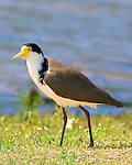 Masked Lapwing or Spurwinged Plover, Vanellus miles