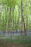 Sunlight falls on blanket of bluebells and beech trees at Standish Wood in spring near the Cotswold way. Gloucestershire, England
