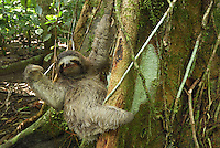 Brown-throated Three-toed Sloth (Bradypus variegatus), Cahuita National Park, Costa Rica.