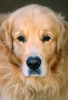Portrait of a golden labrador retriever