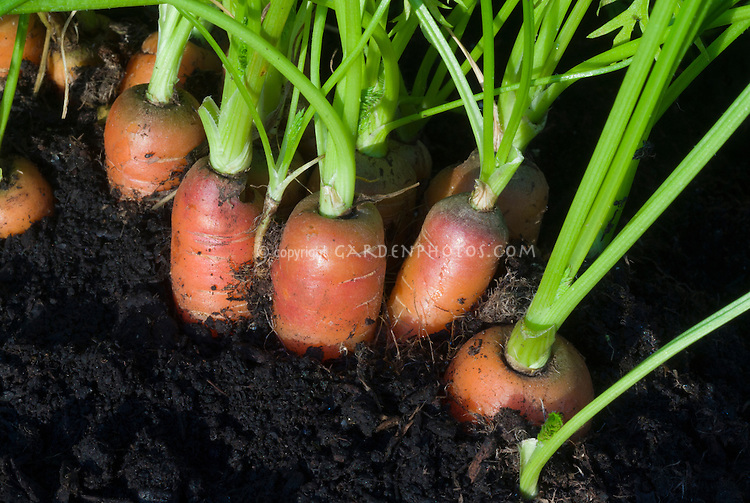 Carrots growing in garden