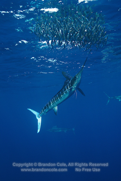 qf2784-D. Striped Marlin (Tetrapturus audax), feeding on Pacific Sardines (Sardinops sagax). Baja, Mexico, Pacific Ocean..Photo Copyright © Brandon Cole. All rights reserved worldwide.  www.brandoncole.com..This photo is NOT free. It is NOT in the public domain. This photo is a Copyrighted Work, registered with the US Copyright Office. .Rights to reproduction of photograph granted only upon payment in full of agreed upon licensing fee. Any use of this photo prior to such payment is an infringement of copyright and punishable by fines up to  $150,000 USD...Brandon Cole.MARINE PHOTOGRAPHY.http://www.brandoncole.com.email: brandoncole@msn.com.4917 N. Boeing Rd..Spokane Valley, WA  99206  USA.tel: 509-535-3489