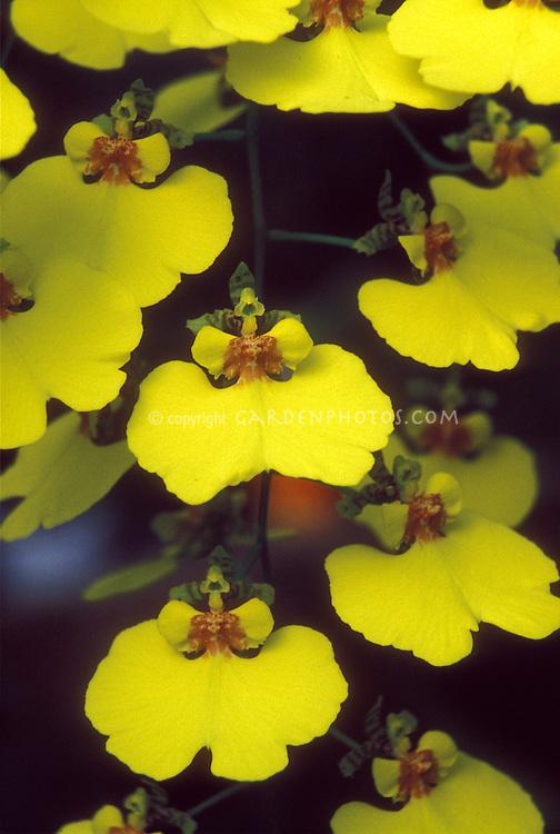 Oncidium varicosum var. rogersii