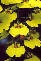 Oncidium varicosum var. rogersii