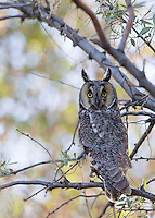 An adult Long-eared owl displays fully erect tufts.