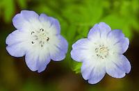 105040001 baby blue-eyes wildflowers nemophila phacelioides wildflowers in de witt county texas