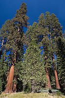 Giant Sequoia Trees (Sequoiadendron giganteum), Mariposa Grove, Yosemite National Park, CA