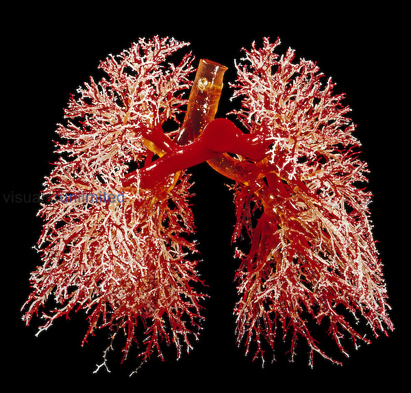 Resin cast of the human lungs showing the bronchi and bronchioles (yellowish), airways (white), and arteries (red). The lungs take in around 0.5 liters of air in every breath, with around 12 breaths per minute at rest. The lungs have a large network of airways, which gives them a huge surface area for oxygen to diffuse into the blood and carbon dioxide to diffuse out.