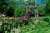 Purple and pink clematis grows on wooden picket fence surrounding vegetable garden through gate
